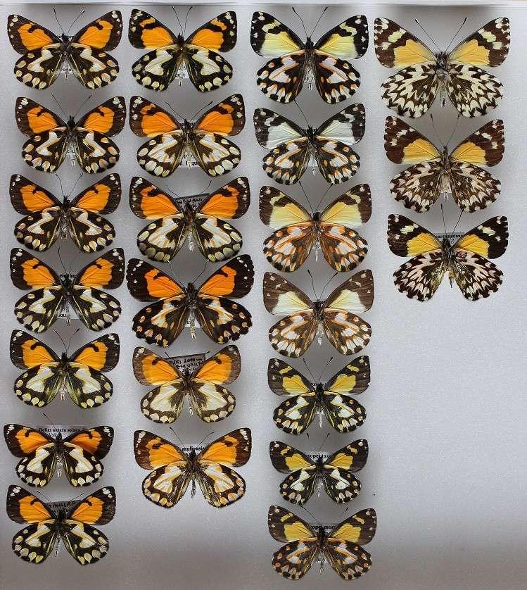 Présentation des collections Entomologiques - Page 6 Eichho10
