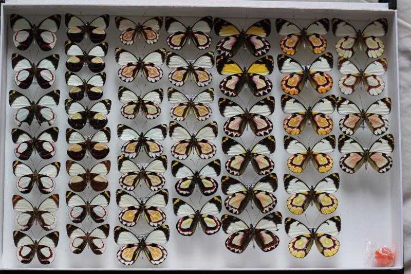 Présentation des collections Entomologiques - Page 6 Iltis10