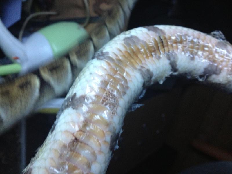 probleme ventre python Image10