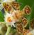 Autres Aeridinae : Aerides, Chiloschista, Gastrochilus, Haraella, Holcoglossum, Pteroceras, Renanthera, Sarcochilus, Sedirea, Staurochilus etc.