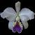 Cattleya, Laelia, Guarianthe : Botaniques et Hybrides Primaires