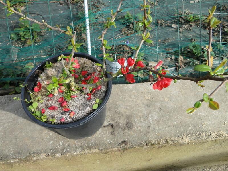 Cognassier du Japon en bonsai à Jojo  Dsc00810