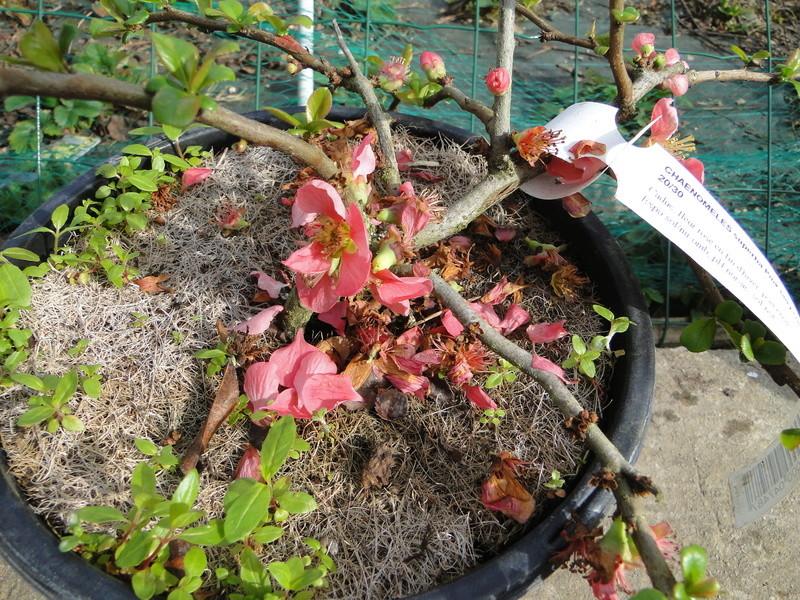 Cognassier du Japon en bonsai à Jojo  Dsc00811