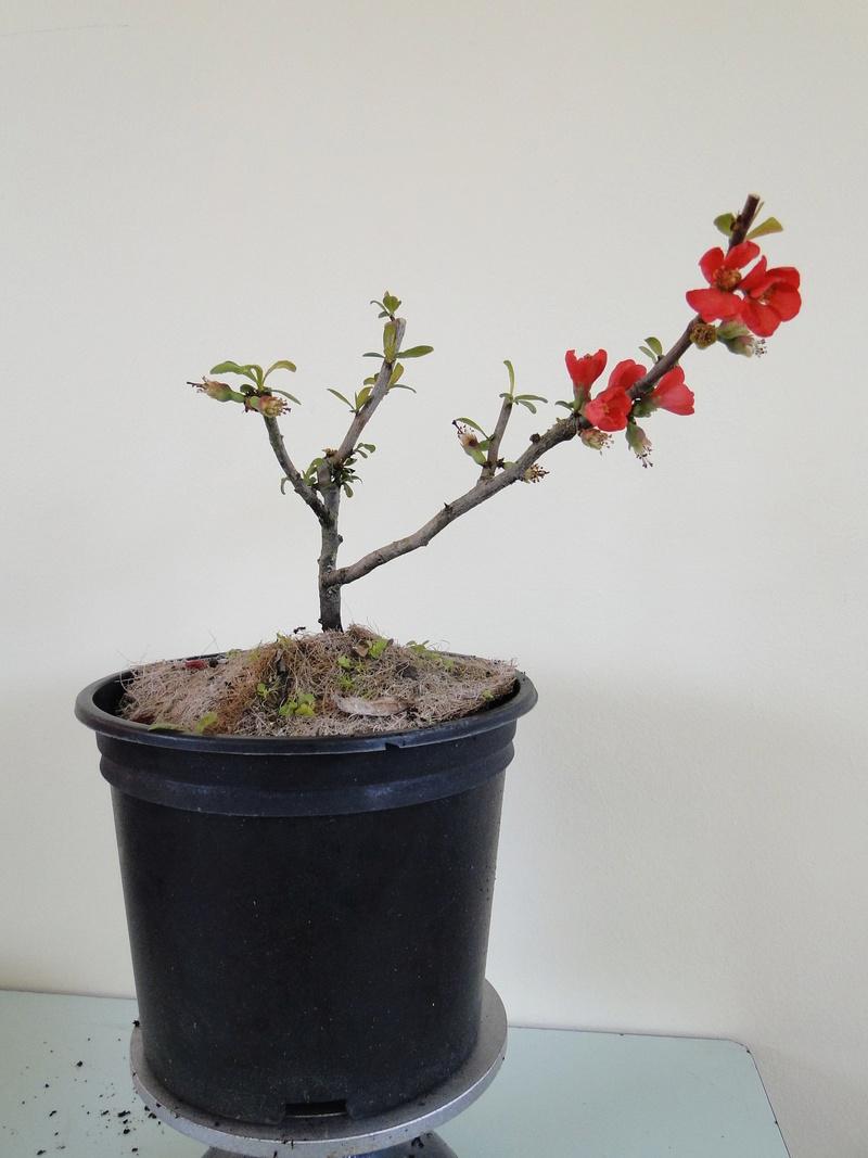 Cognassier du Japon en bonsai à Jojo  Dsc00812