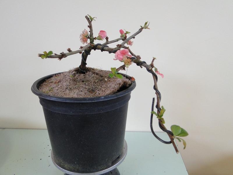 Cognassier du Japon en bonsai à Jojo  Dsc00813