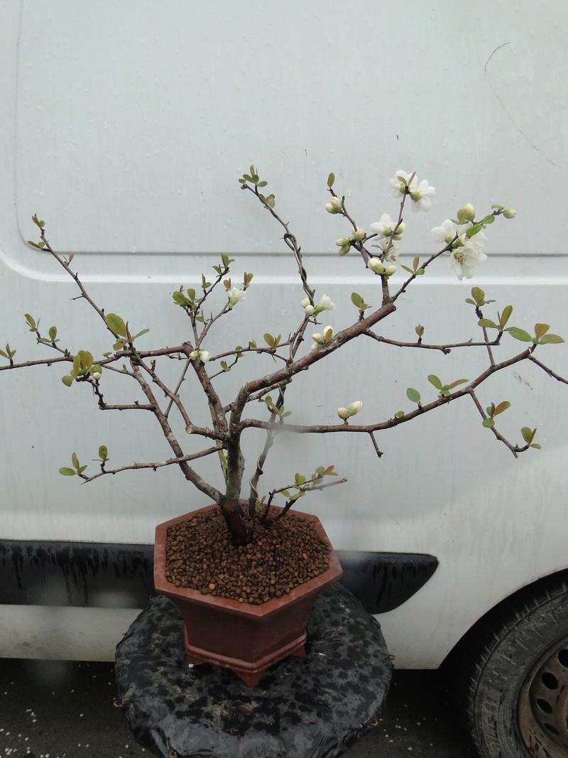 Cognassier du Japon en bonsai à Jojo  - Page 2 Dsc00819