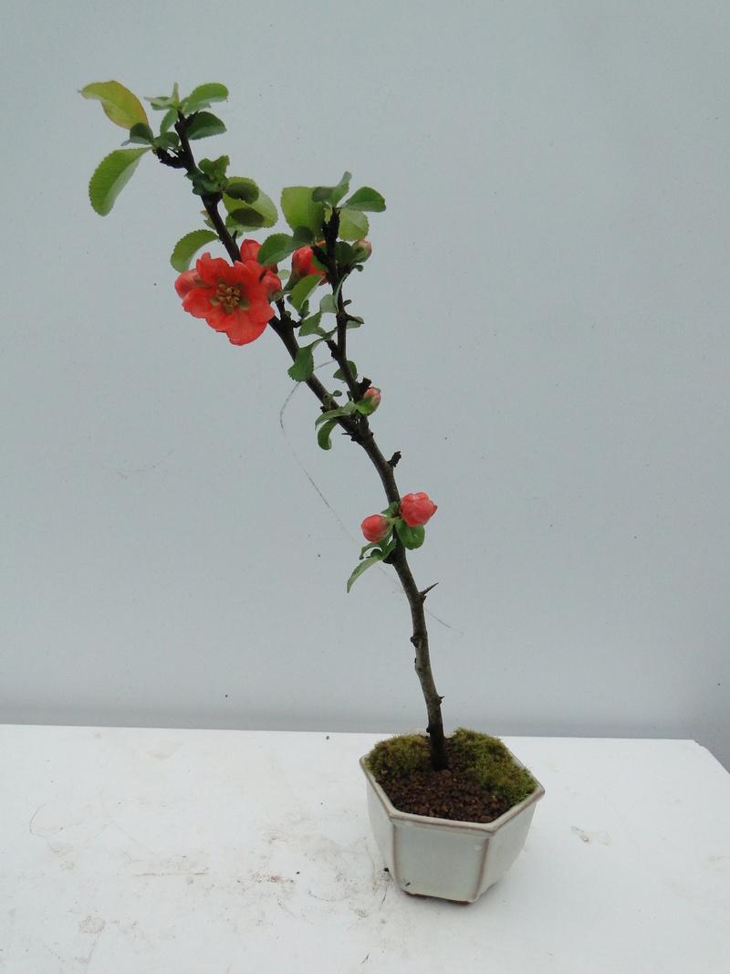 Cognassier du Japon en bonsai à Jojo  - Page 2 Dsc00821