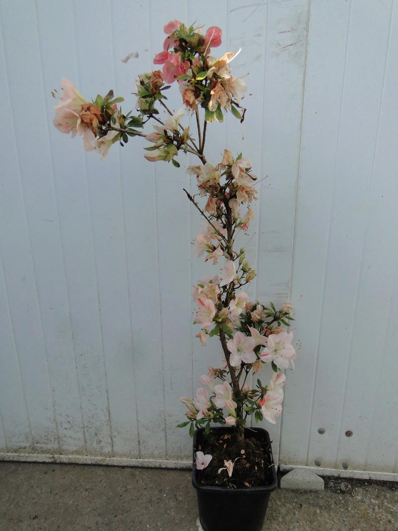 satsuki flower trophy 3  - Page 2 Dsc01424