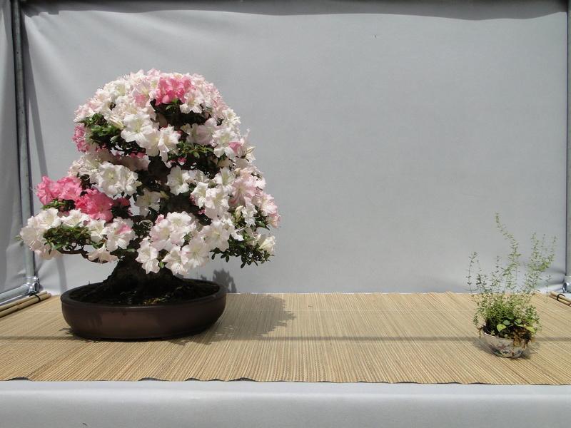 satsuki flower trophy 3  Dsc01544
