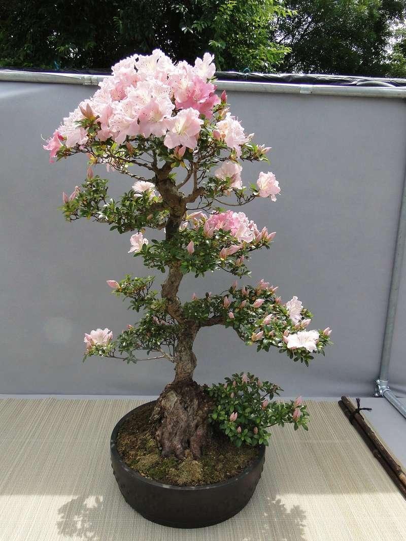 satsuki flower trophy 3  Dsc01564