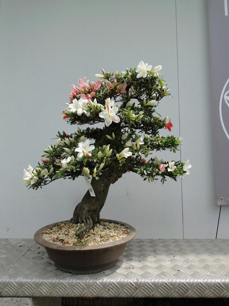 satsuki flower trophy 3  - Page 2 Dsc01579