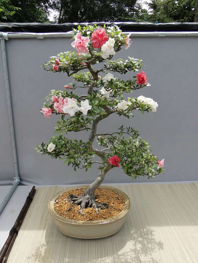 satsuki flower trophy 3  Dsc01583