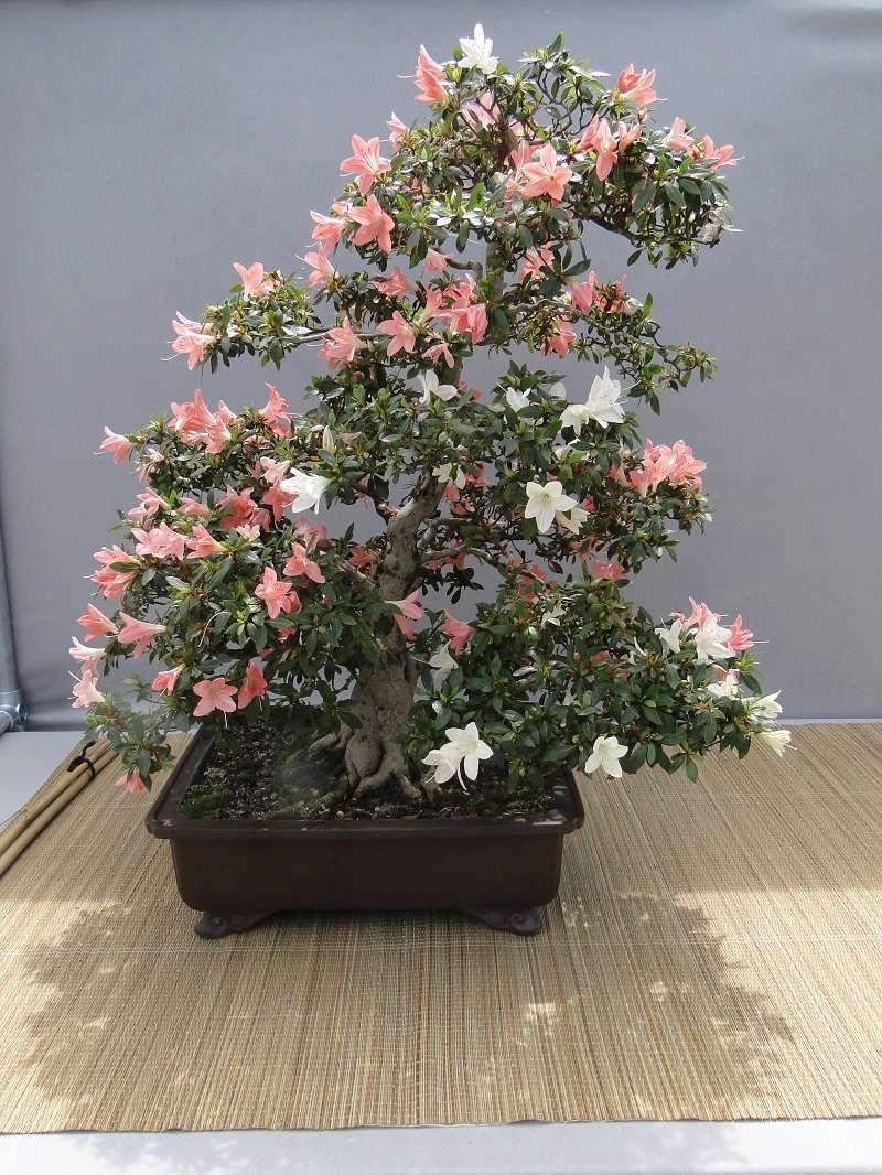 satsuki flower trophy 3  Dsc01585