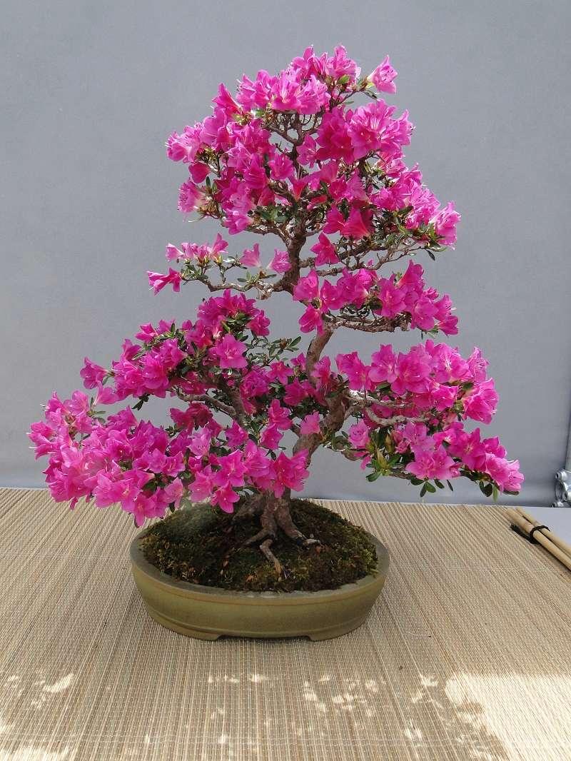 satsuki flower trophy 3  Dsc01586