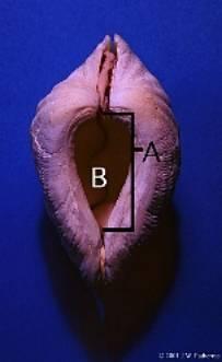 Identifier un bénitier tridacna Image011