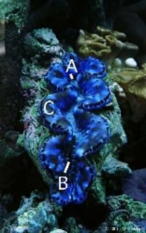 Identifier un bénitier tridacna Image012