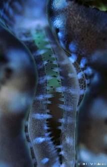 Identifier un bénitier tridacna Image013