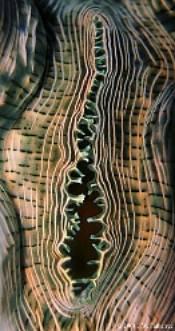Identifier un bénitier tridacna Image014