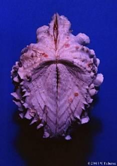 Identifier un bénitier tridacna Image016