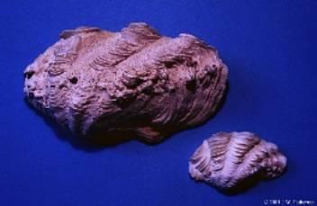 Identifier un bénitier tridacna Image017