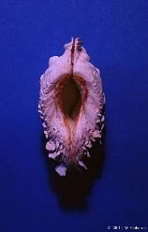 Identifier un bénitier tridacna Image018