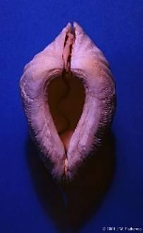 Identifier un bénitier tridacna Image020