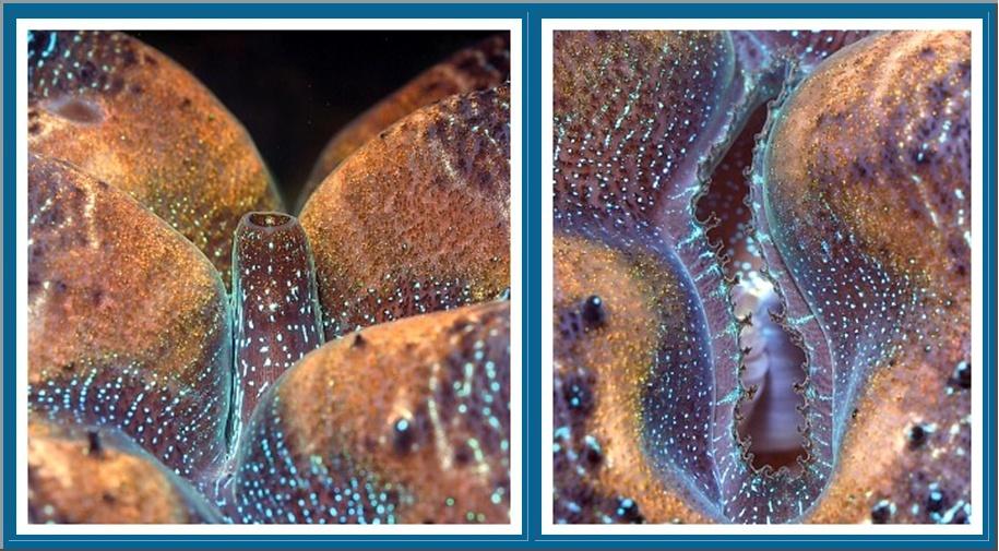 Focus sur le Tridacna Crocea Photo_12