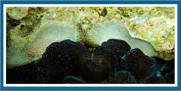 Focus sur le Tridacna Crocea Photo_16
