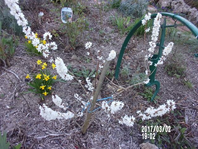 Forsythia blanc (Abeliophyllum distichum) 106_1614