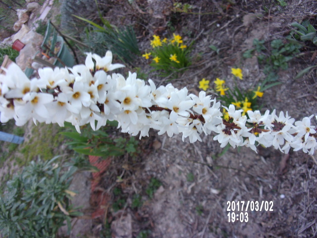 Forsythia blanc (Abeliophyllum distichum) 106_1615