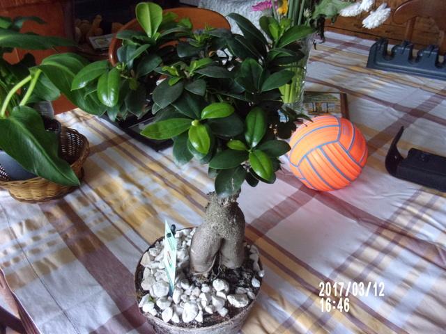 pour garder un  bonsaï  106_1670