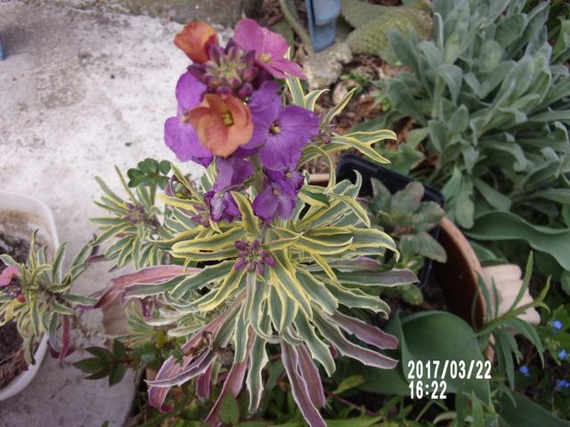 Erysimum linifolium Variegatum 106_1717