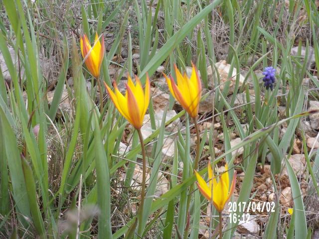 tulipe sauvage  106_1769