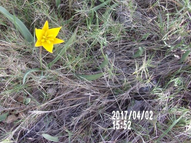 tulipe sauvage  106_1770