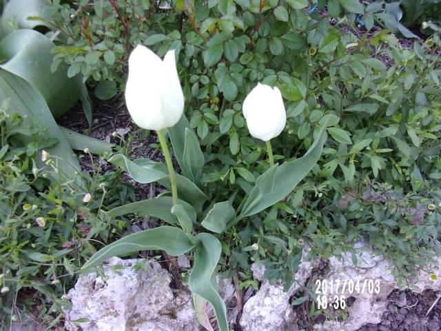 tulipes - Page 4 106_1814
