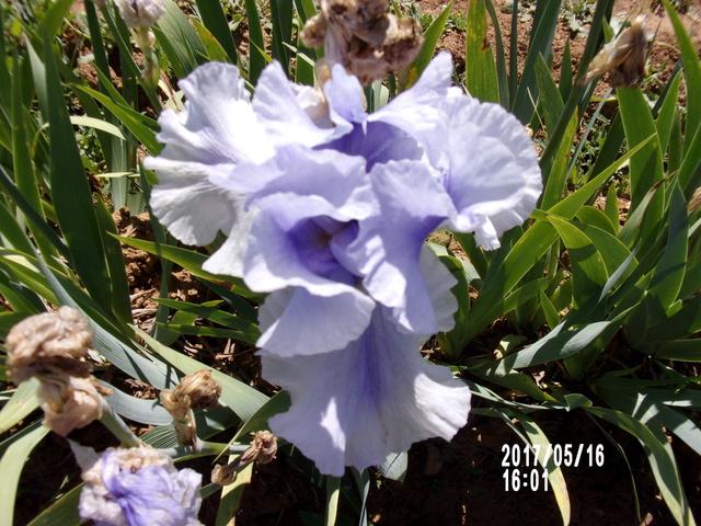 Floraison d'iris 2017 - 2018 - 2019 - Page 5 106_2212