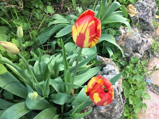 tulipes - Page 4 Img_0130