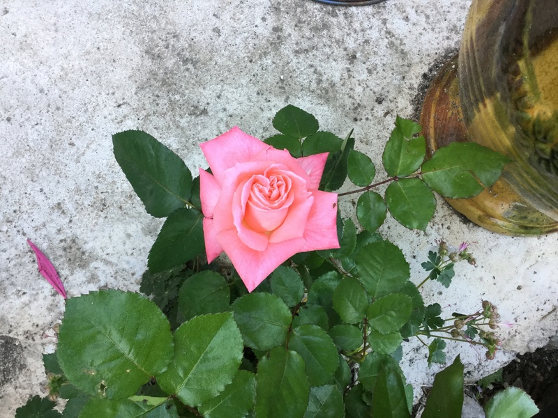 Roses et rosiers 2017  Img_0220