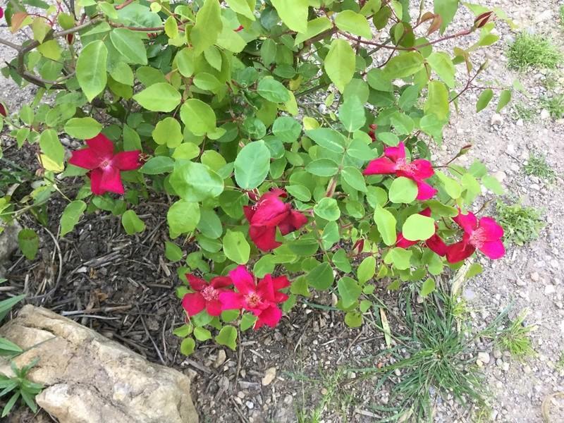 Roses et rosiers 2017  Img_0221