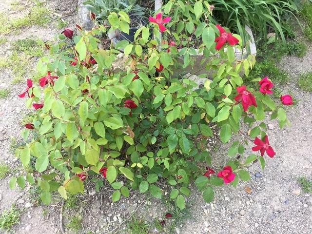 Roses et rosiers 2017  Img_0241