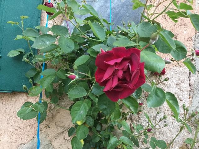 Roses et rosiers 2017  Img_0254
