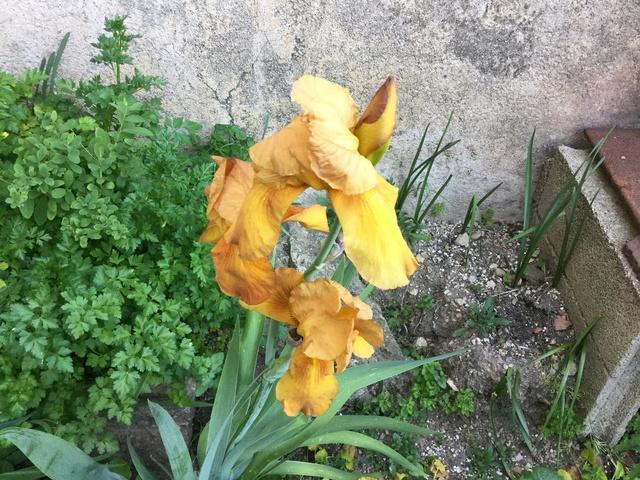 Floraison d'iris 2017 - 2018 - 2019 Img_0259