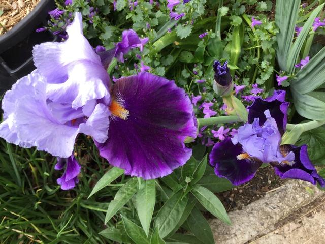 Floraison d'iris 2017 - 2018 - 2019 Img_0328