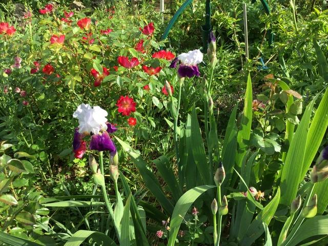 Floraison d'iris 2017 - 2018 - 2019 Img_0330