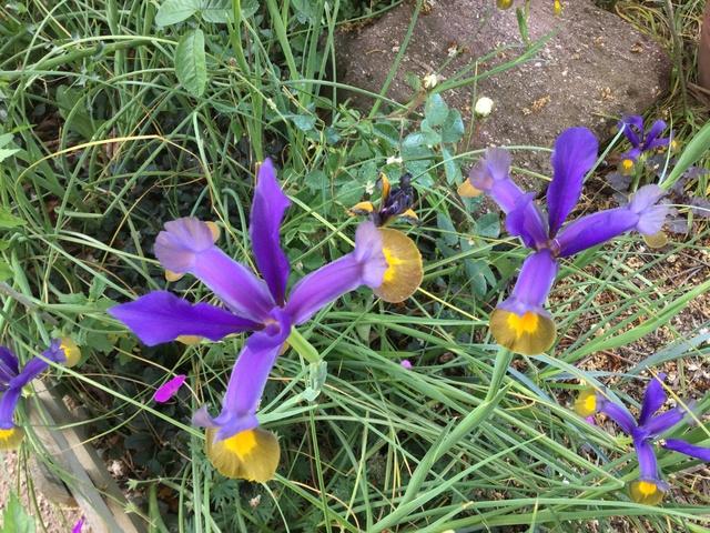 Floraison d'iris 2017 - 2018 - 2019 - Page 3 Img_0464
