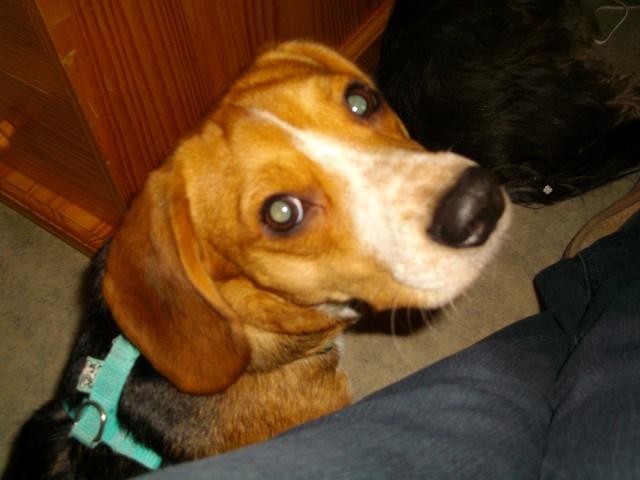 beagle mâle un an Lorient cherche nouveau foyer  Imgp0111