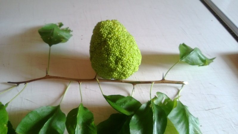 Maulbeergewächse (Moraceae) Wp_20111