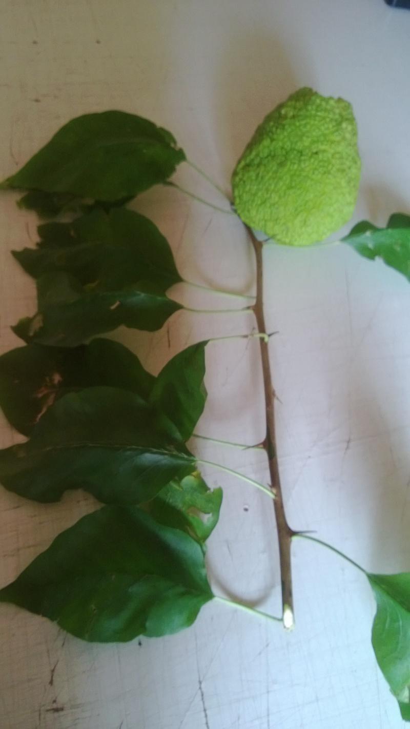 Maulbeergewächse (Moraceae) Wp_20112