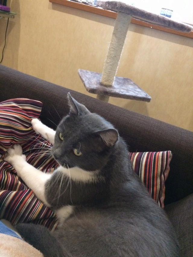 OURAGAN (mâle gris et blanc) 17022410