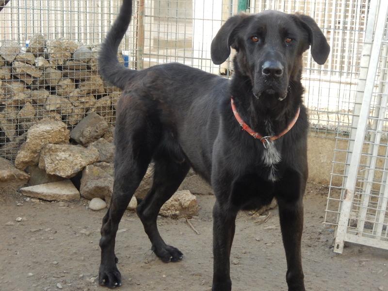 LOUXOR (chien mâle croisé dogue labrador) 1dscn410